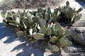 USA_Kalifornien_Anza-Borrego Desert SP_Biberschwanz Kaktus
