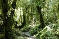 Chile_Cochamó_Valle de Cochamó_Unterwegs im Valdivianischen Regenwald17