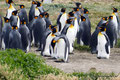 Chile_Feuerland_Königspinguine an der Bahía Inútil6
