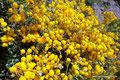 Chile_Santiago de Chile_Blumen am Pochoco4