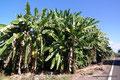 Mexiko_Pazifikküste Nord_Santa Cruz_Bananenplantage
