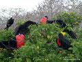 Ecuador_Galapagos_Isla North Seymour_Wettstreit