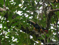 Costa Rica_Cahuita_Halsbandarassari im Nationalpark1