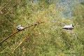 Mexiko_Pazifikküste Nord_Puerto Vallarta_Pelikane auf Bambus