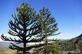 Chile_Laguna del Laja NP_Araukarien