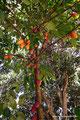 Mexiko_Pazifikküste Nord_Boca de Tomatlán_Kakao