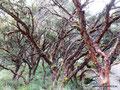 Peru_Cordillera Blanca_Bäume mit vielen Schichten