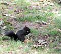 Kanada_British Columbia_Vancouver_Schwarzes Eichhörnchen