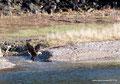 Kanada_Nova Scotia_Cape-Breton_Marble Mountain_Adler mit Fisch im Schnabel
