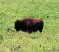 Kanada_Manitoba_Riding Mountain NP_Bison5