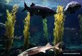 USA_Kalifornien_Monterey Bay_Aquarium-Große Fische