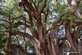 Mexiko_Oaxaca und Chiapas_Santa María El Tule_Die Sabino-Zypresse ist 42 hoch