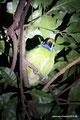 Costa Rica_Santa Elena_Laucharassari bei Nachttour
