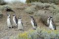Argentinien_Cabo Virgenes_Magellan-Pinguine4