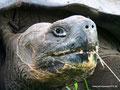 Ecuador_Galapagos_Isla Santa Cruz_Galapagos-Schildkröte4