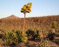 Mexiko_Baja California_Riesige Agavenblüte
