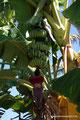 Mexiko_Pazifikküste Nord_Santa Cruz_Bananen