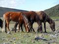 Ecuador_Cotopaxi NP_Wildpferde1