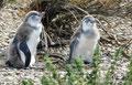Argentinien_Cabo Virgenes_Magellan-Pinguine5