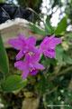 Guatemala_Osten_Orquigonia Orchideenfarm1