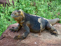 Ecuador_Galapagos_Isla North Seymour_Landleguan4