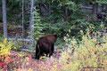 Kanada_Yukon_Alaska Highway_Großer zimtfarbener Schwarzbär3