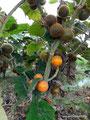 Kolumbien_San Augustín_Die Frucht Lulo
