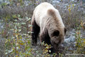 Kanada_Yukon_Alaska Highway_Grizzly4