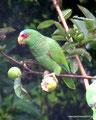 Costa Rica_Monteverde_Curi-Cancha Reserve_Weißstirnamazone