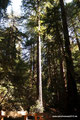 USA_Kalifornien_Muir Woods National Monument_Redwoods1