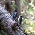 Kanada_Alberta_Jasper NP_American Three-toed Woodpecker2
