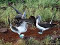 Ecuador_Galapagos_Isla North Seymour_Blaufußtölpel5