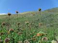 Ecuador_Ibarra_Coole Blumen