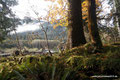 USA_Washington_Olympic NP_Regenwald am Hoh River4