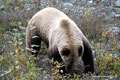 Kanada_Yukon_Alaska Highway_Grizzly6
