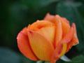 2014.アンネのバラ