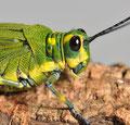 Chromacris psittacus pacificus