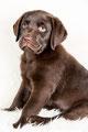 Huisdieren, Huisdieren, Studio, Huisdieren, Baas en Hond, Huisdieren, Petphotography, Huisdierenfotograaf, Netherlands, labradors, chihuahua, dogs, hondfotografie, ere bijzondere huisdieren zijn welkom!  De fotoshoot In onze fotos