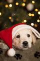 Huisdieren, Huisdieren, Studio, Huisdieren, Baas en Hond, Huisdieren, Petphotography, Huisdierenfotograaf, Netherlands, labradors, chihuahua, dogs, hondfotografie,