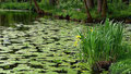 Gelbe Seerosen im und Irisblueten am Waldmannsweiher in Fuerth