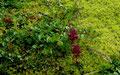 Waldboden mit Moos u.a. Pflanzen am Weg zum Seebensee