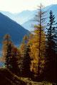 Wunderschöner Spätherbstag mit goldenen Lärchen im Gegenlicht