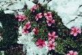 Rosa Blumenpolster im Geschröff