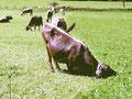 Knieendes Rind streckt Kopf zum Fressen unter dem Weidezaun durch