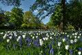 Weisse Tulpen und blaue Traubenhyazinthen im Fuerther Stadtpark