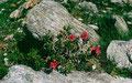 Alpenrosen vor glimmernden und glitzernden Urgestein
