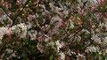 Dichtbluehender Busch im Fuerther Stadtpark bei der Auferstehungskirche