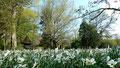 Weiße Narzissen im Fürther Stadtpark