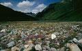 Der Blütenreichtum im Blockwerk des Plaun Vadret gegen Talausgang