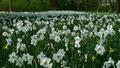Weiße Narzissenwiese im Fuerther Stadtpark